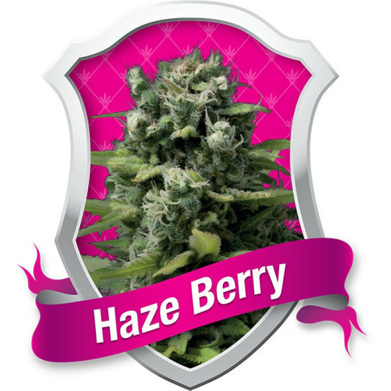 R.Q.S. Haze Berry (1 Pc)