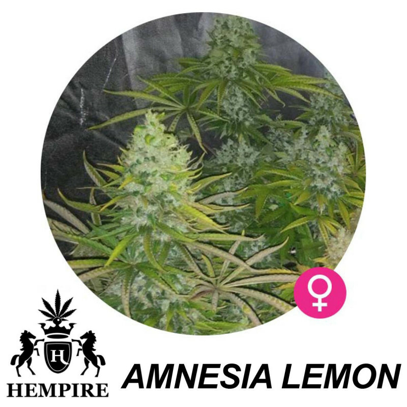 Hempire Seeds Amnesia Lemon 5 Pcs (Fem)