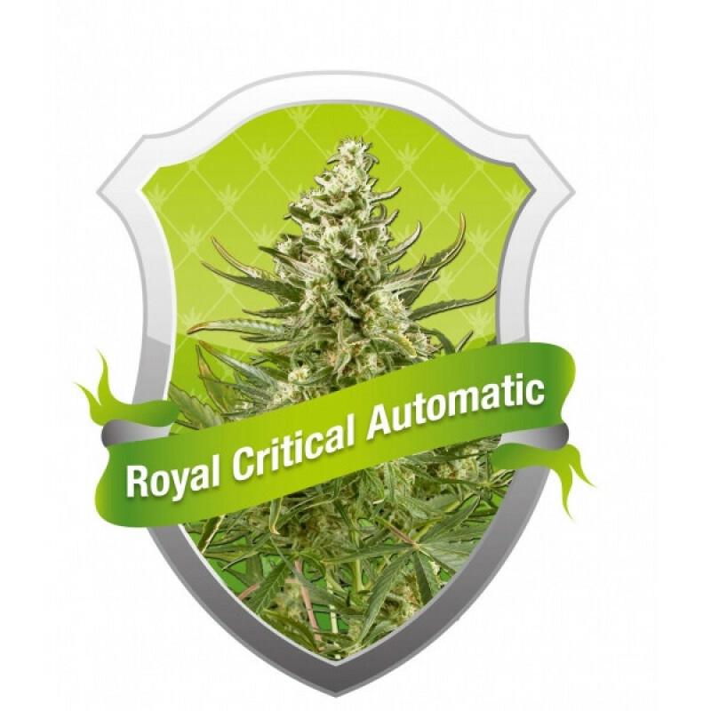 R.Q.S. Royal Critical Automatic ( 1 Pcs)