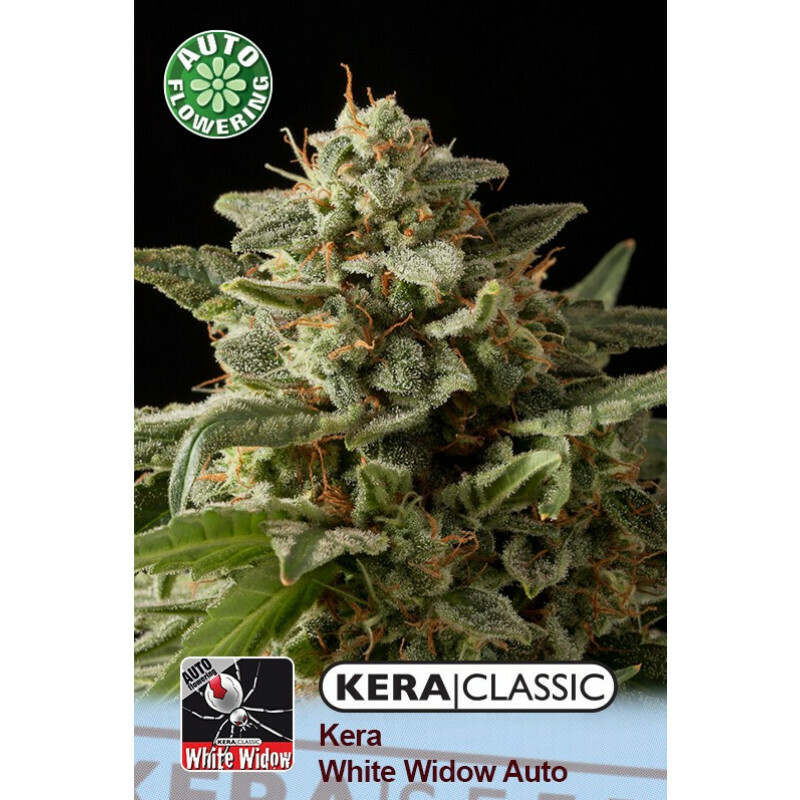 Kera Seeds White Widow 10 Pcs (Auto)