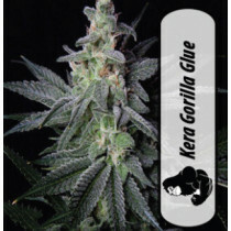 Kera California Gorilla Glue 5 Pcs (Fem)