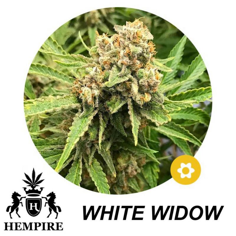Hempire Seeds White Widow 5 Pcs (Auto)