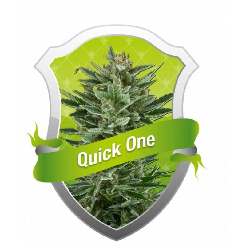 R.Q.S. Quick One ( 10 Pcs. )