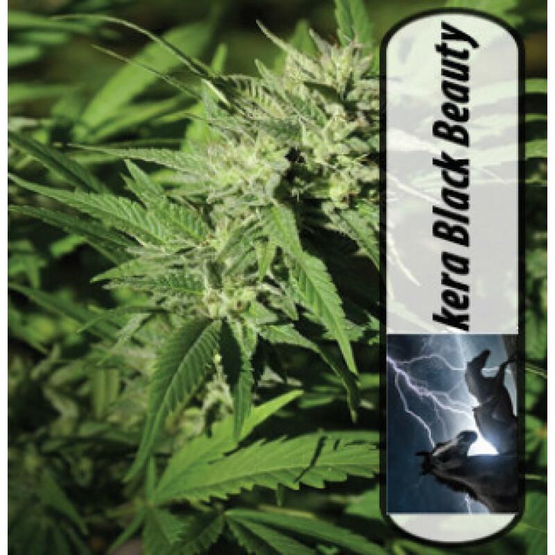 Kera Seeds Medical Black Beauty 1 Pcs (Fem)