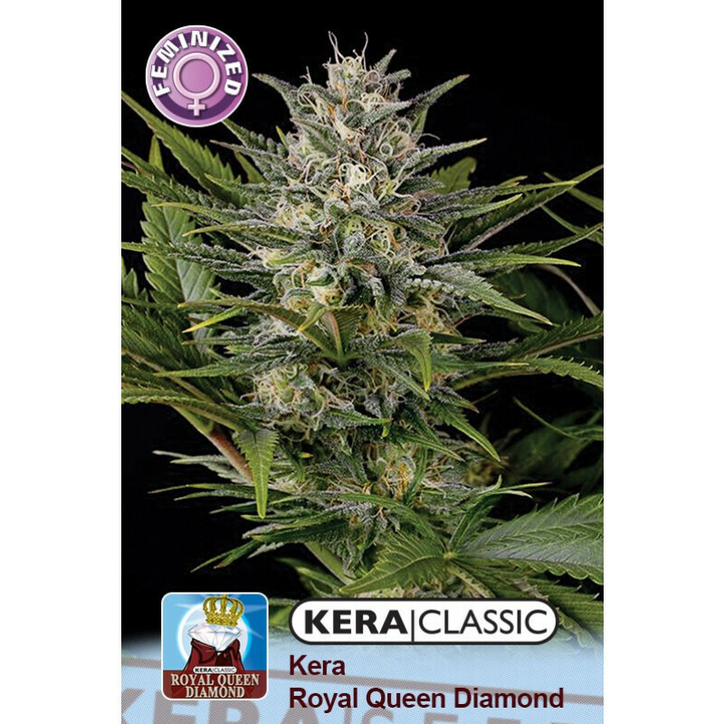 Kera Seeds Royal Queen Diamond 10 Pcs (Fem)