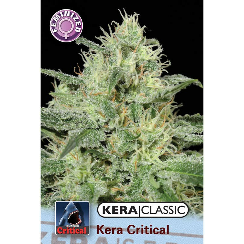 Kera Seeds Critical 1 Pc (Auto)