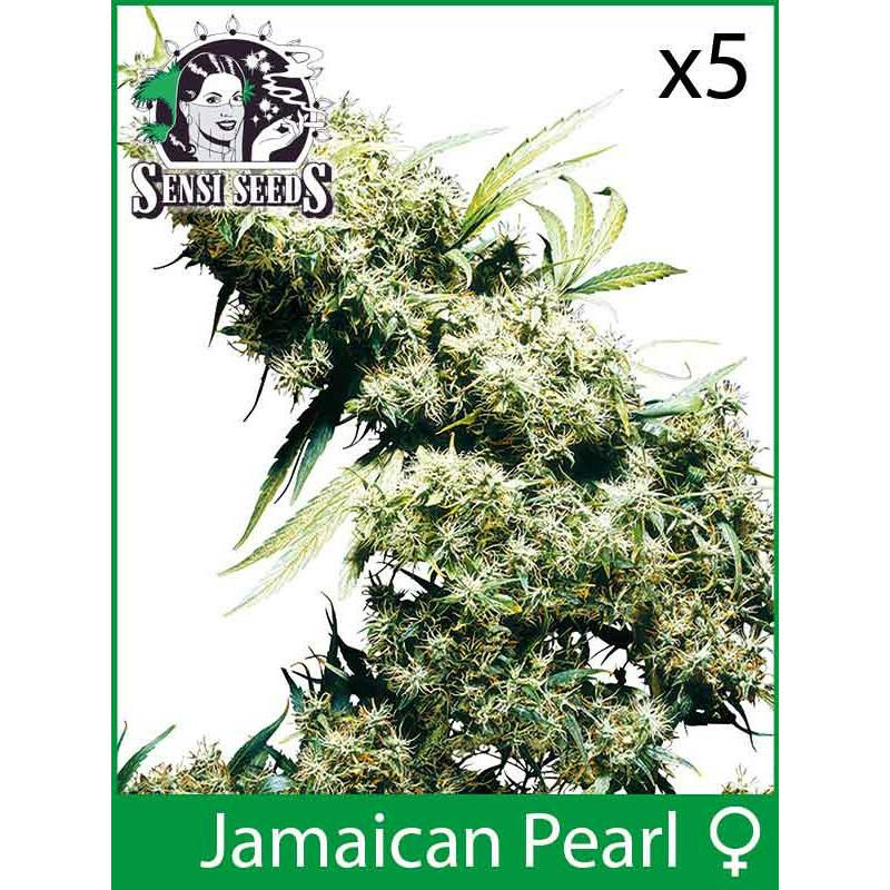 Sensi Seeds Jamaican Pearl (Fem) (5 Pcs)