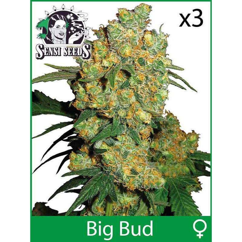 Sensi Seeds Big Bud (Fem) (3 Pcs)