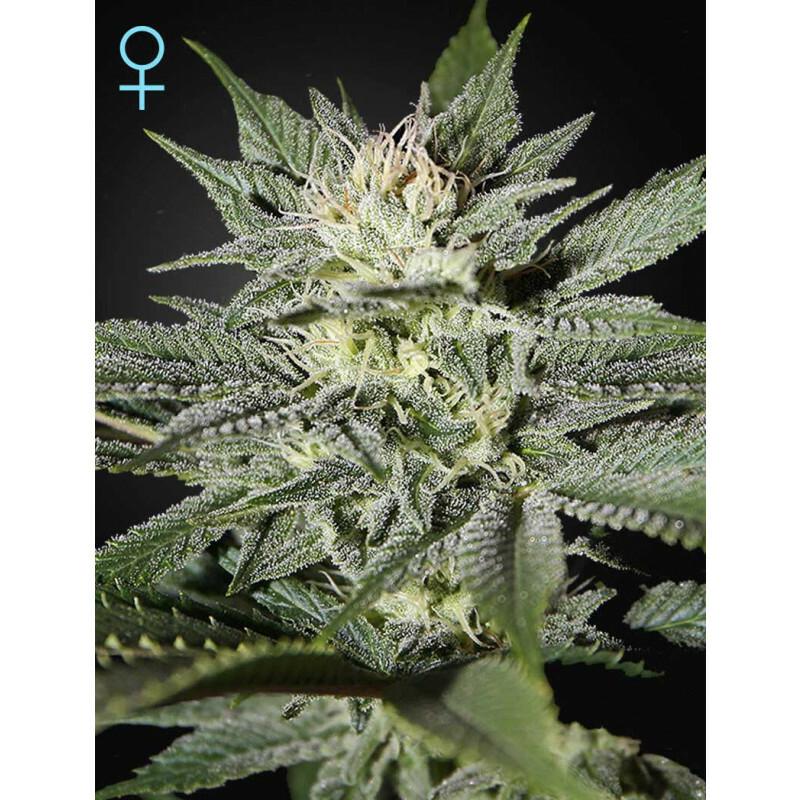 Greenhouse Seeds Kings Kush Cbd 5 Pcs (Fem)