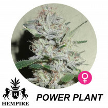 Hempire Seeds Power Plant 5 Pcs (Fem)