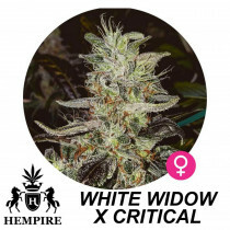Hempire Seeds White Widow X Critical  5 Pcs (Fem)