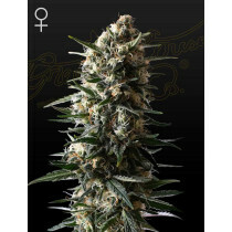 Greenhouse Seeds Bubba Slush 3 Pcs (Fem)