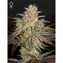 Greenhouse Seeds Cloudwalker 5 Pcs (Fem)