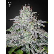Greenhouse Seeds Francos Lemon Cheese 5 Pcs (Fem)