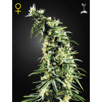Greenhouse Seeds Hawaiian Snow 5 Pcs (Fem)