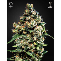 Greenhouse Seeds Jack Herer 5 Pcs (Auto)