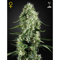 Greenhouse Seeds Super Silver Haze 3 Pcs (Fem)