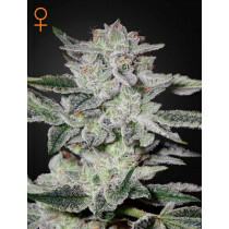 Greenhouse Seeds Sweet Valley Kush 5 Pcs (Fem)