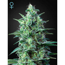 Greenhouse Seeds White Widow 5 Pcs (Auto)