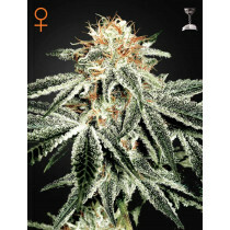 Greenhouse Seeds White Widow 5 Pcs (Fem)