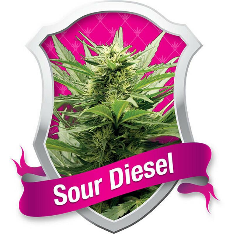 R.Q.S. Sour Diesel (5 Pcs)