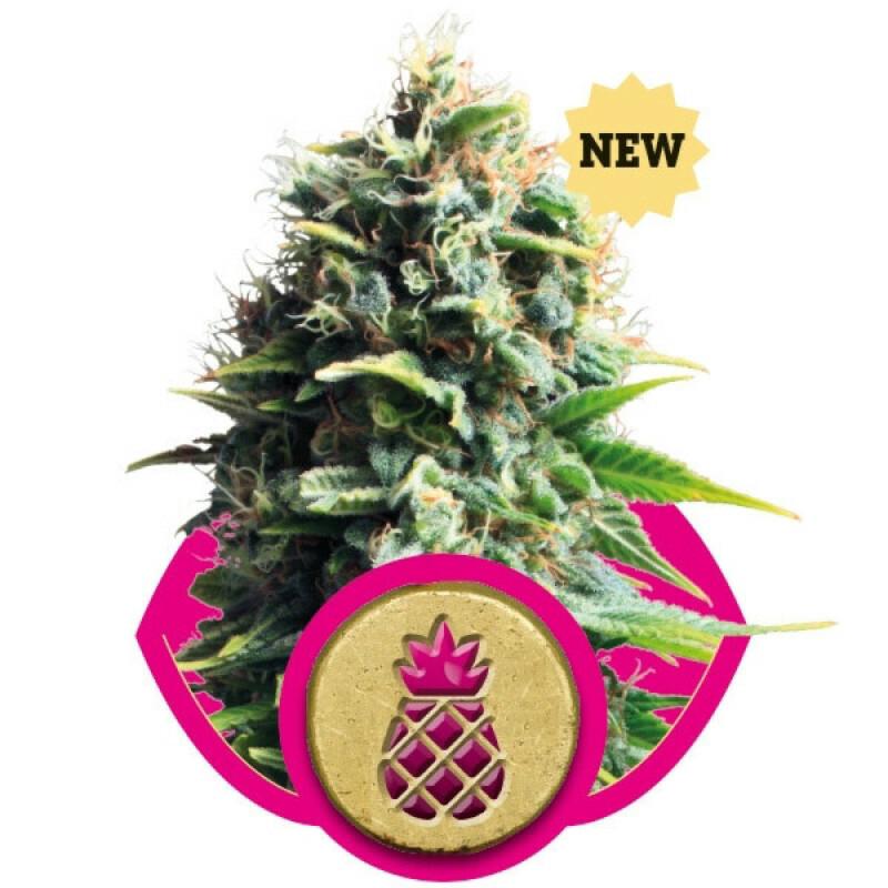 R.Q.S. Pineapple Kush 3 Pcs