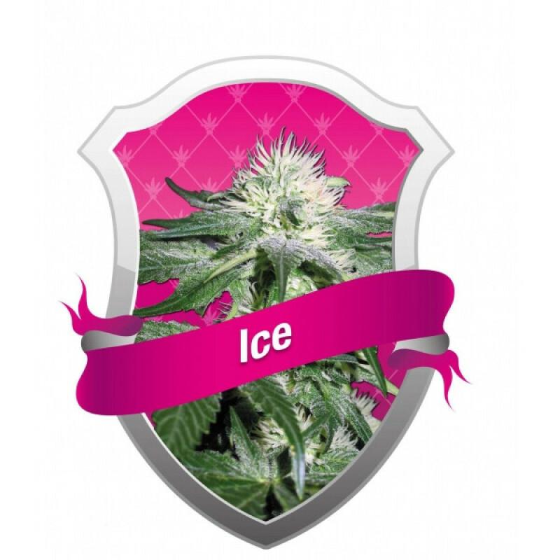 R.Q.S. Ice (10 Pcs.)