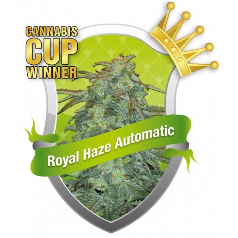 R.Q.S. Royal Haze Automatic ( 3 Pcs)