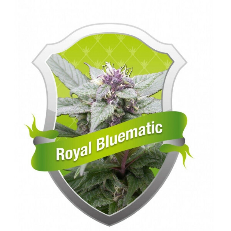 R.Q.S. Royal Bluematic ( 10 Pcs)
