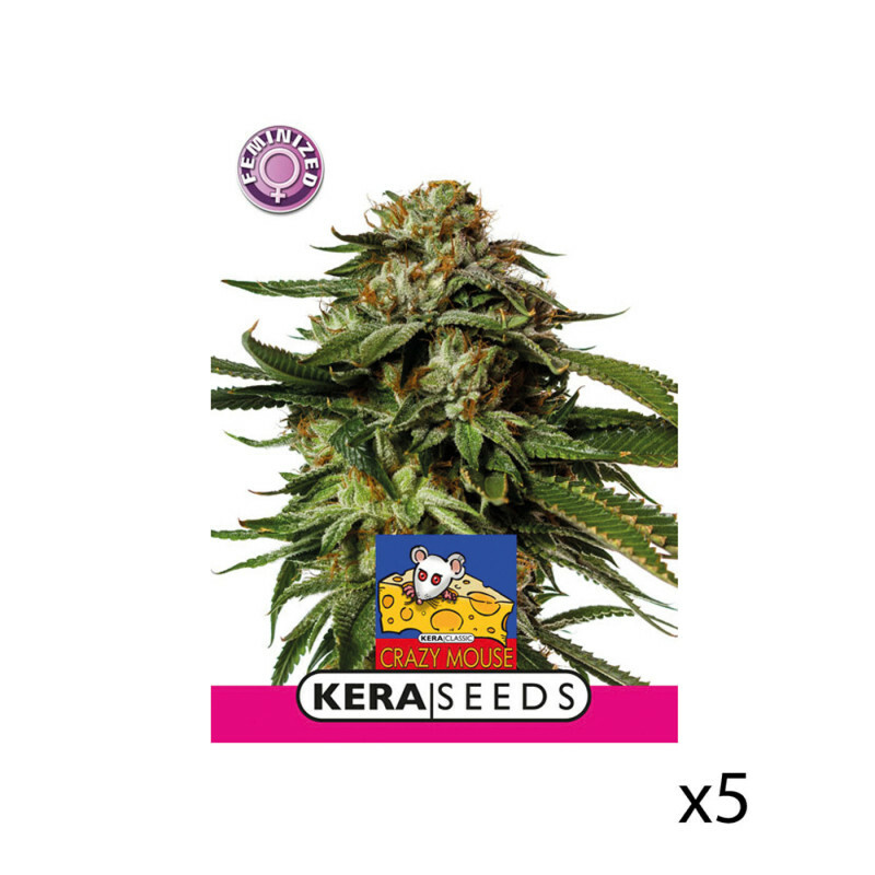 Kera Seeds Amsterdam Cheese 5 Pcs (Fem)