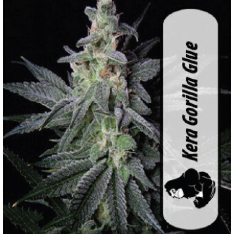 Kera California Gorilla Glue 10 Pcs (Fem)