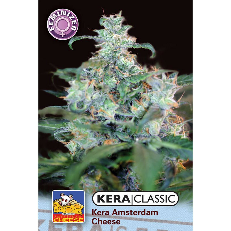 Kera Seeds Amsterdam Cheese 1 Pc (Fem)