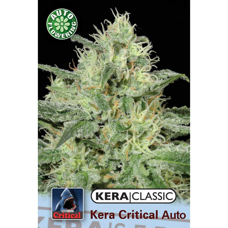 Kera Seeds Critical 5Pcs (Auto)