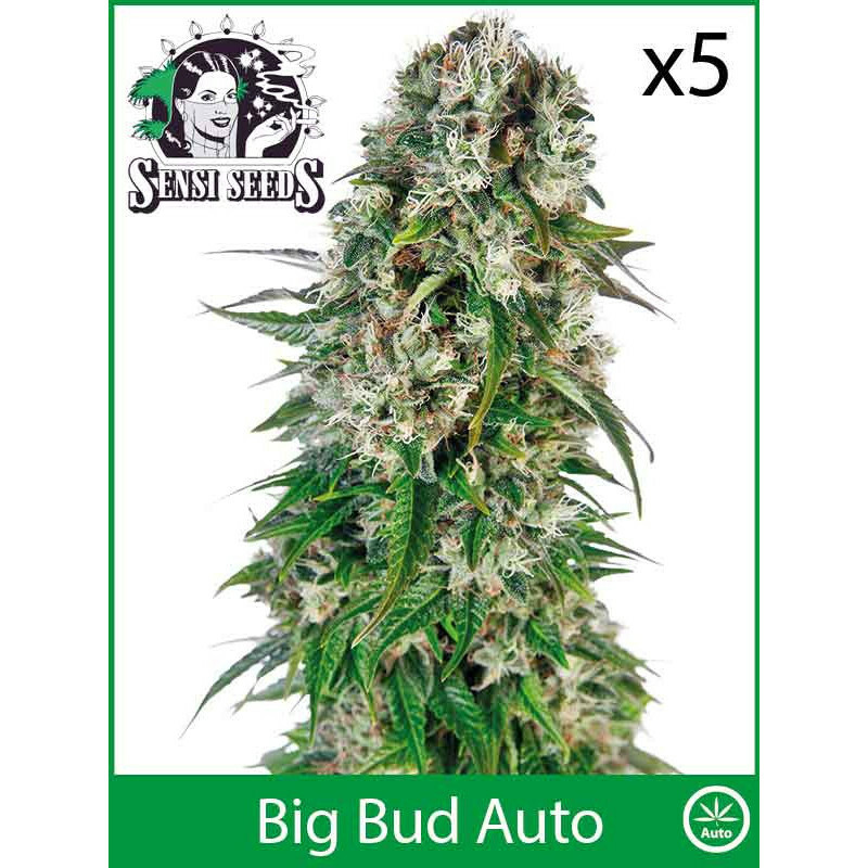 Sensi Seeds Big Bud (Auto) (5 Pcs)